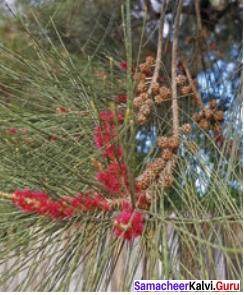 Our Casuarina Tree Poem Book Back Answers Samacheer Kalvi 12th English
