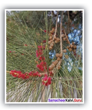 Our Casuarina Tree Question And Answer Samacheer Kalvi 12th English Solutions Poem Chapter 2