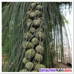 Our Casuarina Tree Poem Pdf Download Samacheer Kalvi 12th English Solutions Poem Chapter 2