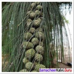 12th English Our Casuarina Tree Samacheer Kalvi Solutions Poem Chapter 2