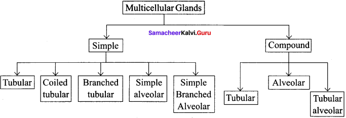 Samacheer Kalvi 11th Bio Zoology Solutions Chapter 3 Tissue Level of Organisation