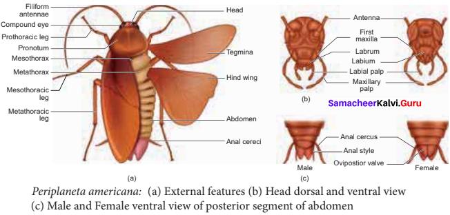 Samacheer Kalvi 11th Bio Zoology Solutions Chapter 4 Organ and Organ Systems in Animals