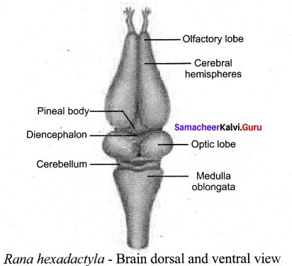 Tamil Nadu 11th Biology Model Question Paper 1 English Medium - 5