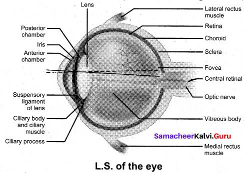 Tamil Nadu 11th Biology Model Question Paper 2 English Medium - 6
