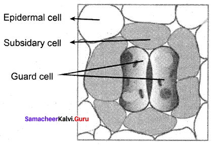 Tamil Nadu 11th Biology Model Question Paper 4 English Medium - 1