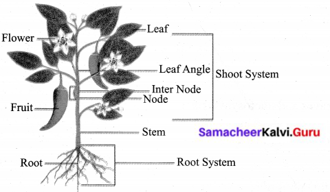 Samacheer Kalvi 6th Science Solutions Term 1 Chapter 4 The Living World of Plants 10
