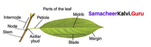 Samacheer Kalvi 6th Science Solutions Term 1 Chapter 4 The Living World of Plants 9