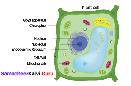 Samacheer Kalvi 6th Science Solutions Term 2 Chapter 5 The Cell 9