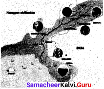 Samacheer Kalvi 6th Social Science History Solutions Term 1 Chapter 3 Indus Civilisation image - 6