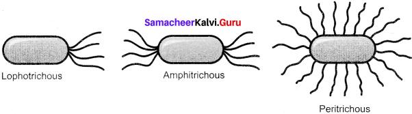 Samacheer Kalvi 11th Bio Botany Solutions Chapter 1 Living World 10