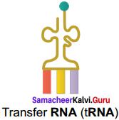 Samacheer Kalvi 11th Bio Botany Solutions Chapter 8 Biomolecules 10