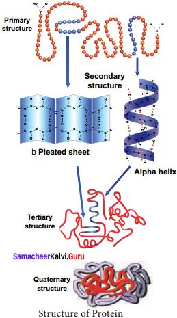 Samacheer Kalvi 11th Bio Botany Solutions Chapter 8 Biomolecules 13