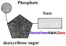 Samacheer Kalvi 11th Bio Botany Solutions Chapter 8 Biomolecules 9