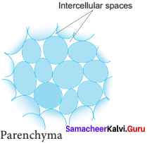 Samacheer Kalvi 11th Bio Botany Solutions Chapter 9 Tissue and Tissue System 12