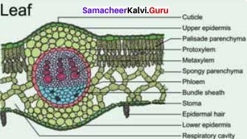 Samacheer Kalvi 11th Bio Botany Solutions Chapter 9 Tissue and Tissue System 19