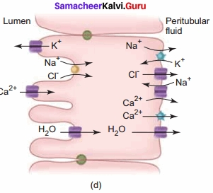 Samacheer Kalvi 11th Bio Zoology Solutions Chapter 8 Excretion img 7a