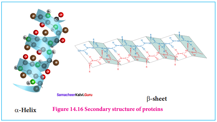 Samacheer Kalvi 12th Chemistry Solutions Chapter 14 Biomolecules-10
