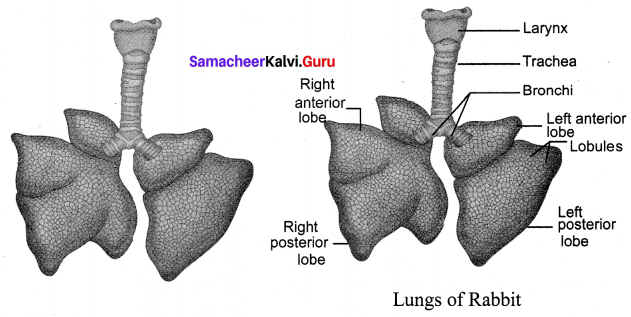 Samacheer Kalvi.Guru 10th Structural Organisation Of Animals