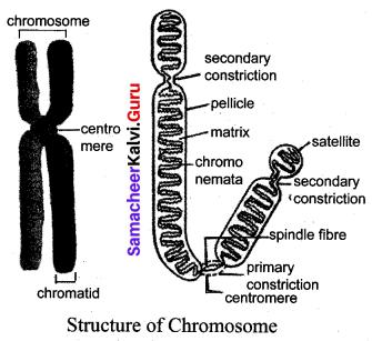 Samacheer Kalvi.Guru Science Chapter 18 Heredity