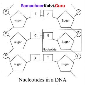 Samacheer Kalvi 10th Science Solutions Chapter 18 Heredity 8