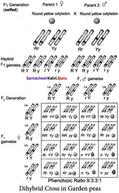 Samacheer Kalvi 12th Bio Botany Solutions Chapter 2 Classical Genetics img 7