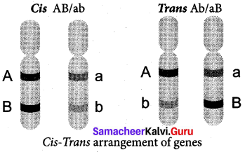 Samacheer Kalvi 12th Bio Botany Solutions Chapter 3 Chromosomal Basis of Inheritance img 13