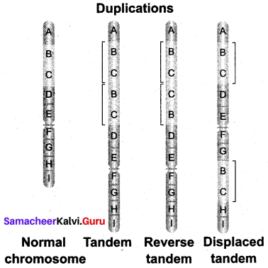 Samacheer Kalvi 12th Bio Botany Solutions Chapter 3 Chromosomal Basis of Inheritance img 15