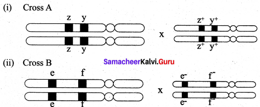 Samacheer Kalvi 12th Bio Botany Solutions Chapter 3 Chromosomal Basis of Inheritance img 18