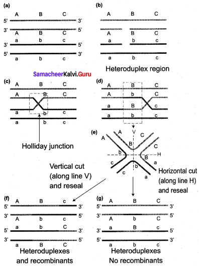 Samacheer Kalvi 12th Bio Botany Solutions Chapter 3 Chromosomal Basis of Inheritance img 7